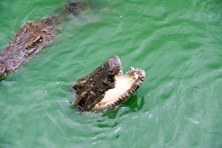 voracious: two voracious crocodiles in water Stock Photo