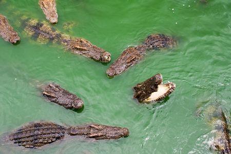 voracious: voracious crocodiles in water Stock Photo
