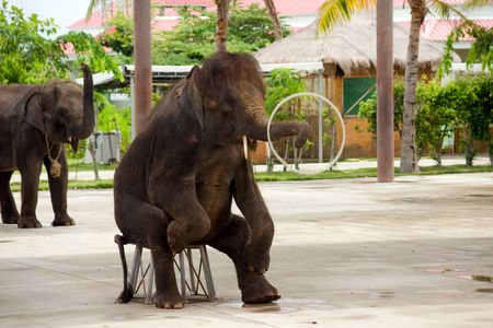 clumsiness: elephant doing a trick at the park china, hainan