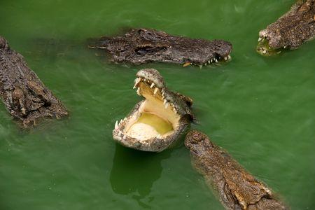 voracious: group voracious crocodiles in water