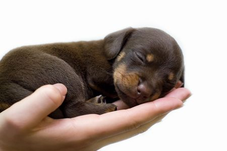 sleeps: puppy sleeps on the girls hand