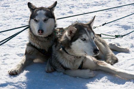 repose: dogs Haska repose after racing in team