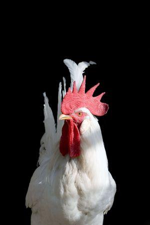 hatchery: beautiful white cock on black background