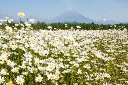 field with daisywheels before vulcan on Kamchatka Stock Photo