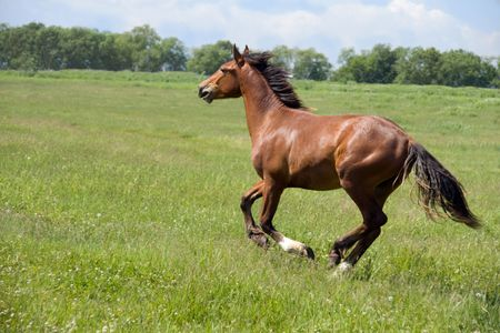 steed: handsome brown horse with black mane in field Stock Photo