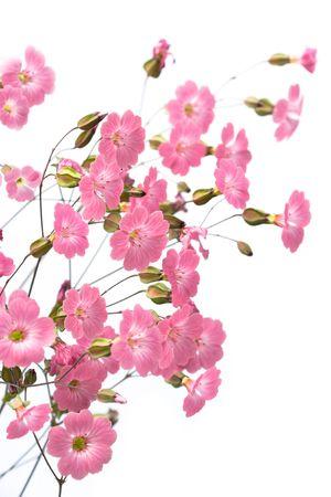 flores peque�as: Gentile flores de color rosa sobre el fondo blanco Foto de archivo