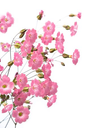 gentile: gentile pink flowers on the white background