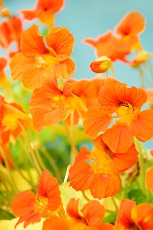 bright background from beautiful orange nasturtium Stock Photo