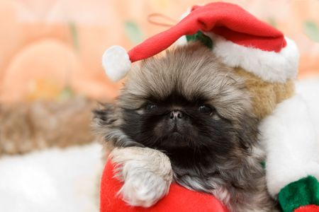 portrait of the beautiful pekingese puppy in a santa hat Stock Photo