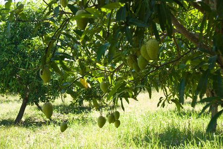green mangoes on the tree on plantation Stock Photo