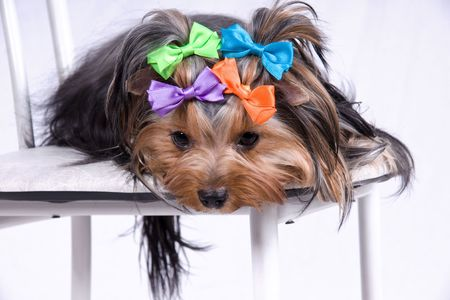 grooming: portrait of the small amusing yorkshire terrier Stock Photo