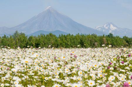 kamchatka: field with camomile before vulcan on Kamchatka Stock Photo