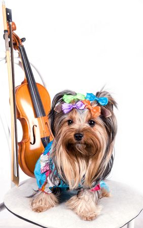 portrait of the  yorkshire terrier with violin Stock Photo