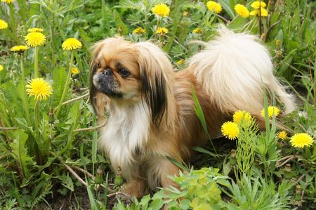 beautiful pekingese  on grass amongst dandelion
