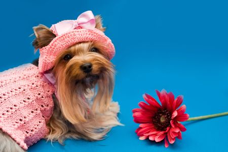 portrait yorkshire terrier in pink gown and hat photo