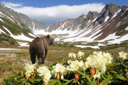 bear in crater of the vulcan amongst flowers and snow