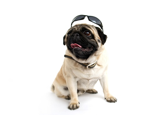 pug in sunglasses on white background photo