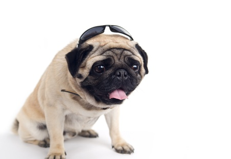 pug in sunglasses on white background