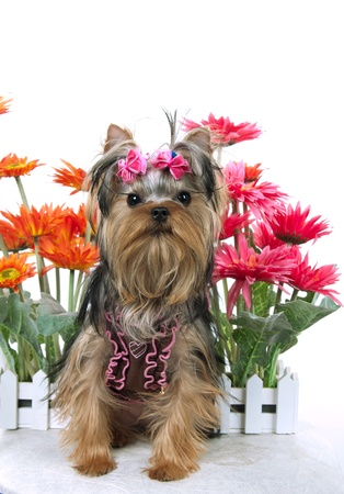 portrait of the yorkshire terrier and flowers Stock Photo