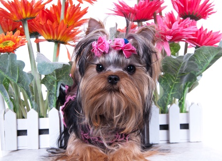 portrait of the yorkshire terrier and flowers photo