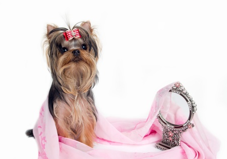 dog grooming: portrait of the yorkshire terrier and mirror