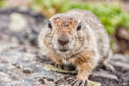 Kamchatka curious gopher (Spermophilus parryi)  - Kamchatka, Russia