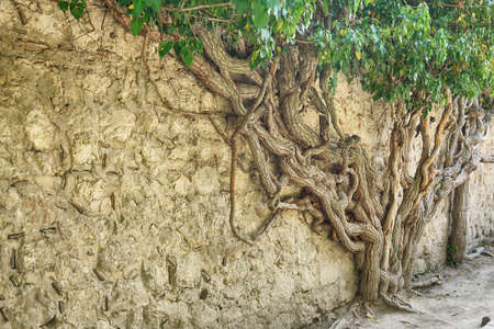 huge tree branches are intertwined on a brick wall Archivio Fotografico