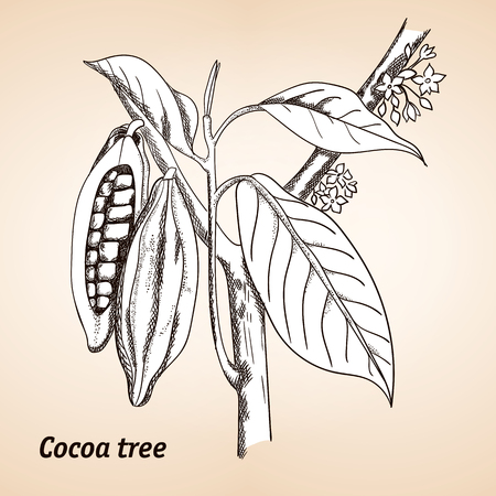 plantae: Cacao tree, cocoa tree or Theobroma cacao, leaves, fruit and branch vintage engraving. Illustration