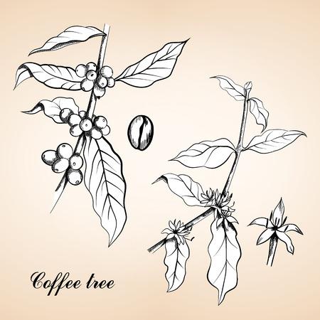 Beeren, Blätter, Triebe und Körner von Kaffee oder Kaffeestrauch und Früchte, Vintage-Gravur. Jahrgang gravierte Darstellung von Kaffee, Samen, Früchte und Blumen. Standard-Bild - 55346498