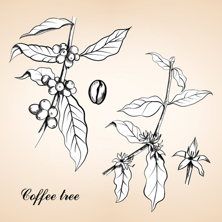 Berries, leaves, shoots and grains of coffee or Coffee shrub and fruits, vintage engraving. Vintage engraved illustration of Coffee, seed, fruit and flower.