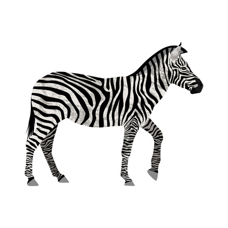Zebra isolated on white background. Illustration