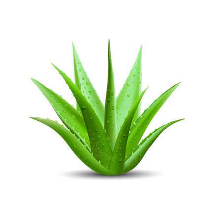 aloe vera avec des gouttes d & # 39 ; eau fraîche. illustration vectorielle isolé sur fond blanc.