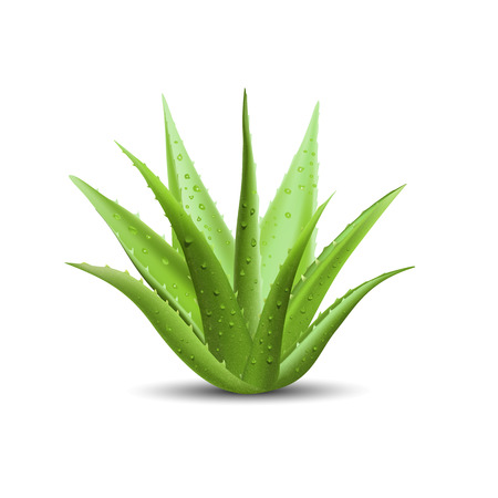 Aloe vera with fresh drops of water. Vector illustration isolated on white background.