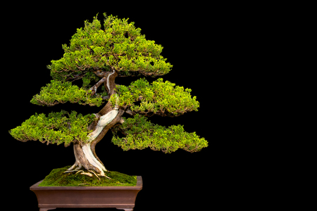 Traditional japanese bonsai miniature tree in a ceramic pot isolated on a black background. Stock Photo