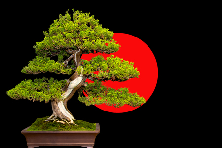 黒と赤の背景にセラミック鍋に伝統的な日本盆栽ミニチュア ツリー。 写真素材