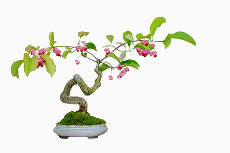 Beautiful bonsai tree with pink flowers in the pot on white beautiful bonsai tree with pink flowers in the pot on white background stock photo mightylinksfo