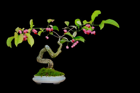 Beautiful bonsai tree with pink flowers in the pot on black background. Stock Photo
