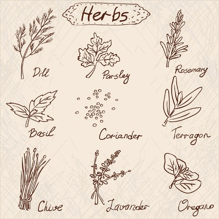 thyme: Herbs set, vector hand drawn illustration