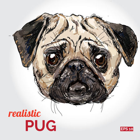 pug dog: Vector illustration of pug dog head  isolated.