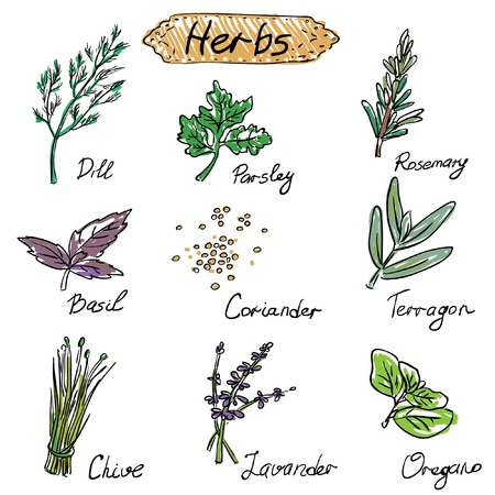 cilantro: Herbs set, vector hand drawn illustration isolated