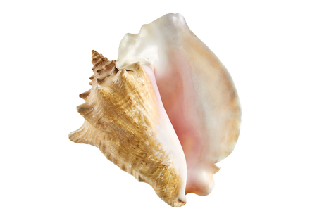 big sea ocean shell isolated white background