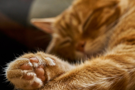 red cat dreamily asleep sleeping lounging, close-up Stock Photo
