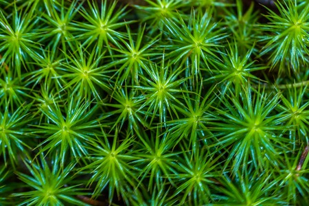 Macro of nutans moss with green spore capsules on red stalks