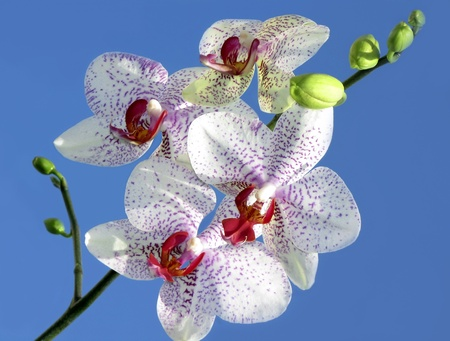Beautiful orchid on blue background.white with a purple heart Stock Photo - 11946337