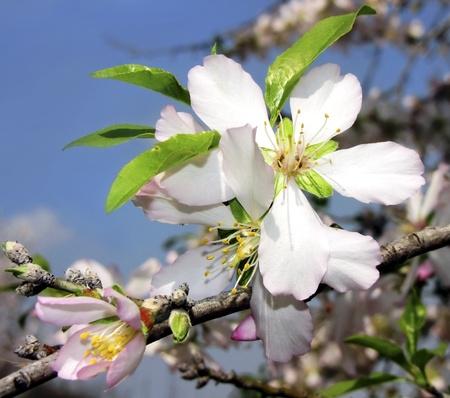 flowering almond tree in early spring in Israel