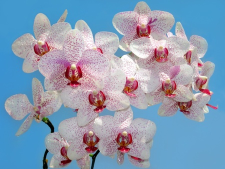 branch of purple and white orchid against the blue sky photo