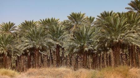 holyland: palm grove in the Judean Desert