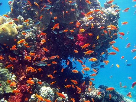 Fish living in the coral of the Red Sea