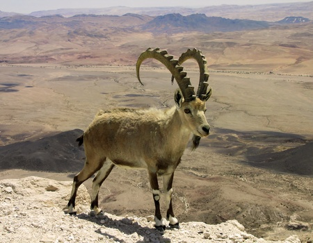 mountain goat in the background of the Big Crater in Israel