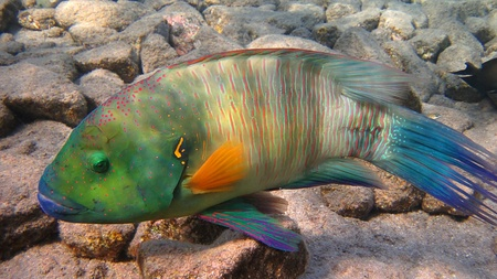 Broomtail Wrasse fish living on the coral reef in the Red Sea